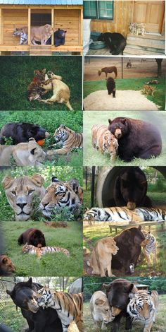 Amazing Friendship Between a Bear, Lion, and Tiger Who All Live Peacefully Together