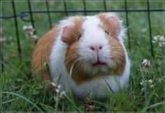 guinea pig in the garden
