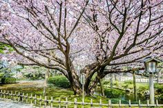 #Japan Cherry #Blossom View