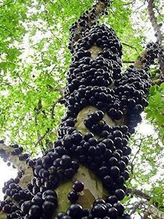 One of my favourite fruits: Jabuticaba! (Jaboticaba Tree: Native to South America, most notably Brazil. The fruit grows out of the trunk! The tree can take up to 40 years to reach maturity & bear its first fruit. Fruit Trees, Trees To Plant, Grape Tree, Unique Trees, Nature Tree, Nature Nature, Belle Photo, Amazing Nature, Mother Earth