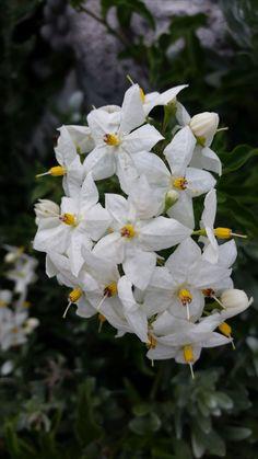 Jasmin Innsbruck, Jasmin, Plants, Summer Recipes, Florals, Plant, Planting, Planets