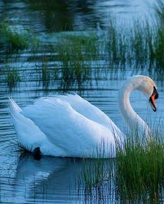 Beautiful Swan, Beautiful Birds, Animals Beautiful, Cute Animals, All Birds, Little Birds, Lake Garden, Beautiful Arabian Horses, Animal Totems