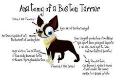 Anatomy of a Boston Terrier Dog! http://www.bterrier.com/anatomy-of-a-boston-terrier-dog/ https://www.facebook.com/bterrierdogs