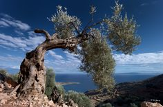 2000+ year old Olive tree at Livaniana in Crete