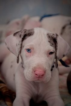 #Great #Dane #dog | #Dogs | #greatdane #dogs #breed | #puppies #puppy