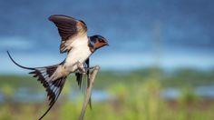 32 New Ideas Swallow Bird Photography Barns Barn Swallow, Swallow Bird, Bird Wallpaper, Nature Wallpaper, Wallpaper Desktop, Wallpapers, Wild Life, Photography Signature Logo, San Juan Capistrano