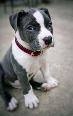 5 interesting facts about Pitbulls The Pet's Planet