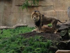 Caught On Camera: Lion Lovin @ Brookfield Zoo « Chicago's B96 – 96.3 FM