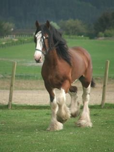 Clydesdale Horses are a breed of draught horse named after the region Clydesdale, Scotland. Clydesdale Horses used to be some of the smallest breeds of draught horses, but now they have evolved over many years to become one of the largest draught. Big Horses, Work Horses, Horse Love, Black Horses, Caballos Clydesdale, Clydesdale Horses, Breyer Horses, All The Pretty Horses, Beautiful Horses