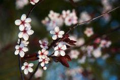 Prunus cistena © F. Boucourt - Rustica - Jardins de Valérianes
