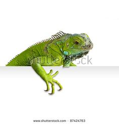 Green iguana peeking in white background