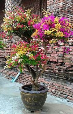Bougainvillea bonsai with white, gold, pin, red and purple colors in Thailand Bougainvillea Bonsai, Bonsai Plants, Bonsai Garden, Garden Plants, Bougainvillea Colors, Bonsai Art, Bonsai Trees, Carnivorous Plants, Fruit Garden