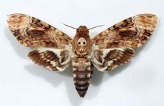 Papillon le sphynx tête de mort
