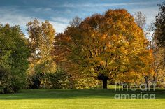 There is a small park on Victoria Island where this lovely tree shows its stuff every autumn. Victoria Island is situated in the Ottawa River in the heart of Ottawa.  Fine Art Photography http://rob-huntley.artistwebsites.com © Rob Huntley