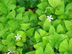Irelands National Flower oxalis shamrock plant has lots of green Shamrock Plant, Shamrock Green, Planting Flowers, Clover Plant, Garden Plants, Flowers, House Plants, Flower Garden, Shade Garden