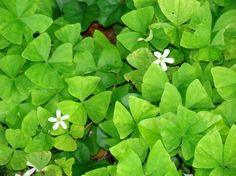 How to Grow Oxalis Shamrock Plant ://www.gardenandgreenhouse.net/index.php?option=com_content=article=1088:the-shamrock-plant=18