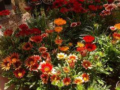 Η γκαζάνια με τα πελώρια λουλούδια της | Κηπολόγιο Home And Garden, Flowers, Plants, Home Decor, Pilot, Gardening, Decoration, Room, House