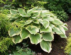 Victory Hosta - Shade Perennial Giant Slug-Resistant Hosta Plant