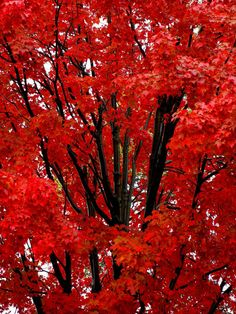 "drxgonfly: "" Red Maple Tree (by Stanley Zimny) """