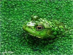 -Animal Camouflage Pictures ~ Hidden Frog