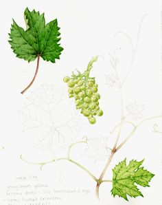 Vine.  I liked doing the darker leaf far more than the lower one, and the grapes had a whole lot of brown in the green when it came to mixing up the right colour.