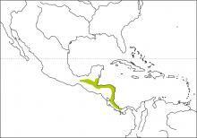 Scarlet-rumped Tanager (Ramphocelus passerinii)