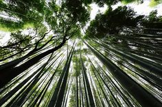 Kyoto, bamboo forest