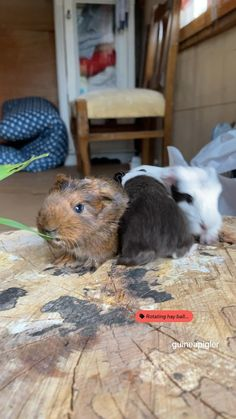 Baby Guinea Pigs, Guinea Pig Care, Baby Pigs, Cute Baby Animals, Funny Animals, Animals Beautiful, Rabbit, Pets, Sweet