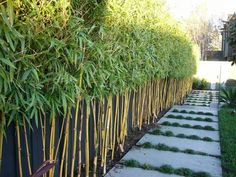 Alluring Garden fence cheap,Backyard fence topper and Modern fence design Privacy Hedges Fast Growing, Fast Growing Hedge Plants, Fence Landscaping, Backyard Fences, Garden Fencing, Pool Fence, Best Trees For Privacy, Privacy Trees, Hedges For Privacy
