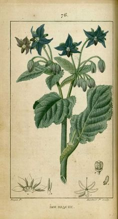 flore medicale - flore medicale - bourrache bouroche - Gravures, illustrations, dessins, images