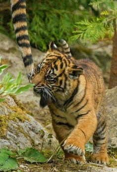 Sumatran Tiger Cub - Flamingo Land June 2014 by patrick-walker - They should be able to be free, living in the wild where they belong Cute Baby Animals, Animals And Pets, Funny Animals, Wild Animals, Beautiful Cats, Animals Beautiful, Big Cats, Cats And Kittens, Siamese Cats