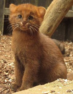 This is a six week old Jaguarundi kitten, a small wild cat native to Central and South America. What a fabulous face don't you think?