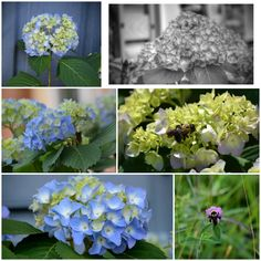 the hydrangeas are becoming glorious! and the bees are out.  :)