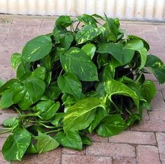 A climbing vine, Golden Pothos (Epipiremnum aureum) features lush, heart-shaped leaves and requires little care to flourish. Golden Pothos tolerates low light, low humidity, and low temperatures, making it one of the top-selling houseplants in the country.
