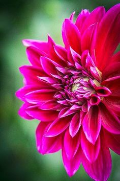 ~~A Flower Blooms ~ dahlia by Kevdiaphoto~~ on Flickr....