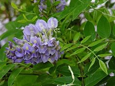 American Wisteria is an uncommon high-climbing deciduous vine of bottomland forests in the Coastal Plain of North Carolina. Plants, Garden, Tree, Vines, Native Plants, American Wisteria, Flowers, Wisteria