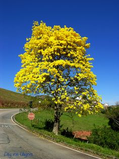 Paisagem Natural/Ypê amarelo III