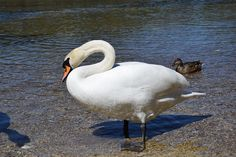Schwanensee Landscape, Animals, Swan Lake, Scenery, Animales, Animaux, Animal, Animais, Corner Landscaping