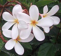 Hawaiian Plumeria is significant in Hawaiian culture. #soapdotclub