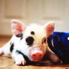 Teacup pig!!