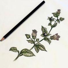 Bella Donna (Deadly Nightshade) Nightshade Flower, Occult Tattoo, Wildflower Tattoo, Plant Tattoo, Time Tattoos, Tatoos, Colour Tattoo, Botanical Tattoo, Tattoo Apprentice