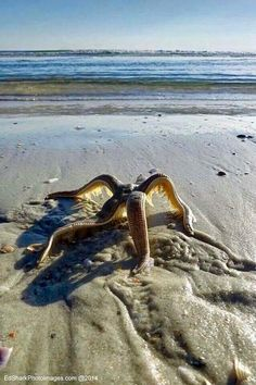 A starfish walking back to the water.
