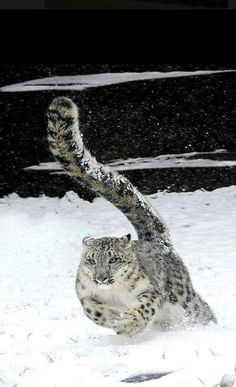 The Majestic Snow Leopard , from Iryna