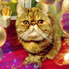 Xmas Cat ! @poppyseed_lemon-#cameran #cameranapp