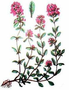 Тимьян ползучий (чабрец, богородская трава, верест, лимонный душок) - многолетний полукустарник из семейства яснотковых.