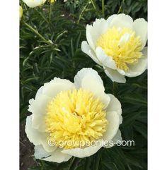 Faribo Gold Peony — Countryside Gardens, Inc. Yellow Peonies, Buy Peonies, Perennials, Countryside, Bloom, Seasons, Flowers, Plants, Gold