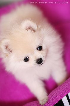 Butter, the Teacup Pomeranian Dog Teacup Pomeranian, Teacup Puppies, Pomeranian Puppy, Cute Puppies, Dogs And Puppies, Doggies, White Pomeranian, Pomsky, Chihuahua Dogs
