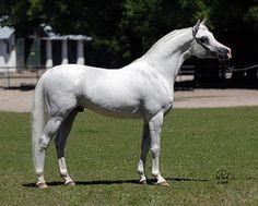 Salar (Ecaho (PL) x Saba (PL))  Stallion, grey, 2000 fot. Wiesław Pawłowski (2008)