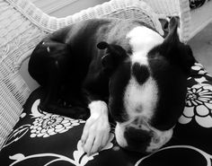 A Boston Terrier Dog with a Heart on the Head! http://www.bterrier.com/boston-terrier-dog-with-a-heart-on-the-head/ https://www.facebook.com/bterrierdogs