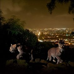 @natgeo @stevewinterphoto Here is more proof that we humans live with majestic animals in urban areas without even knowing they are there - AND without major problems - if we let them be. Leopards are the most adaptable and the most persecuted cat on our planet.  Shot for my @natgeo Leopard story - 2 leopard cubs are walking up stairs to go drink at a waterhole where the caretaker of a local shrine lives. The man has goats and chickens that drink the water during the day - at night he puts…